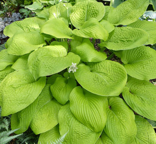 Funkia Hosta GOLDEN WAFFELS