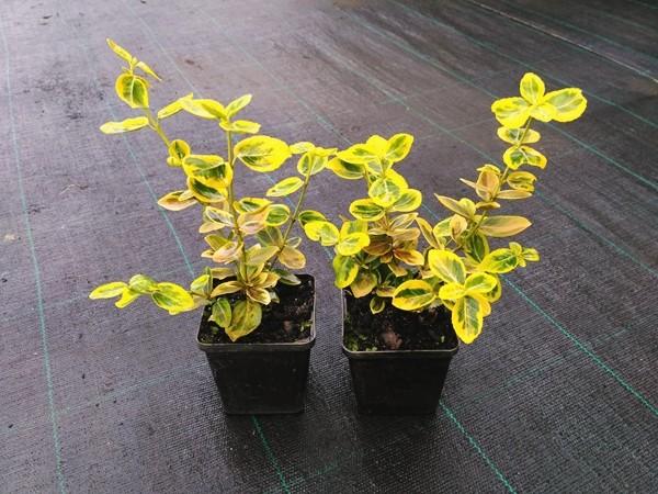 L289-trzmielina-fortunea-emeraldn-gold