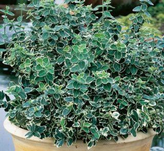 L291-trzmielina-fortunea-emerald-gaiety-3