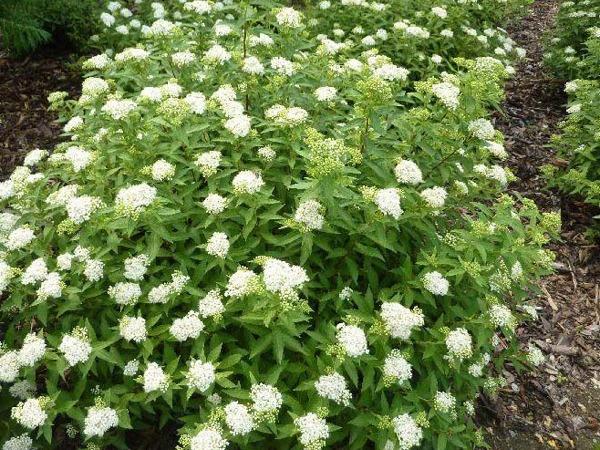 Tawula Japonska Albiflora Internetowy Sklep Ogrodniczy Szkolka Szotek Pl