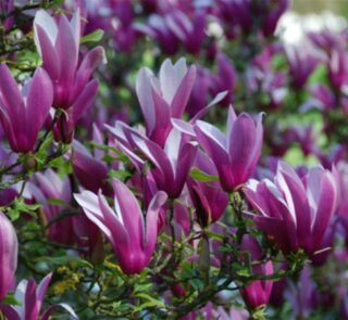 magnolia-purpurowa-nigra-sadzonki-4